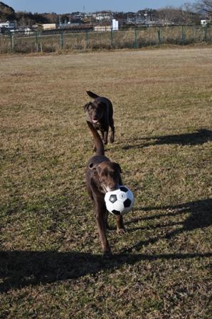 ボール好きな茶色2頭