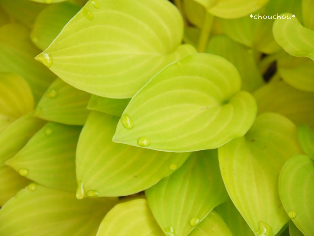 ギボウシ 黄緑