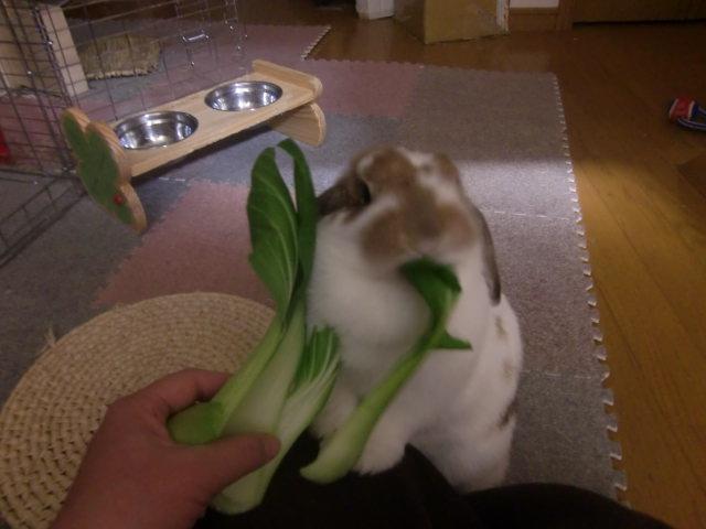 フィーリアと青梗菜