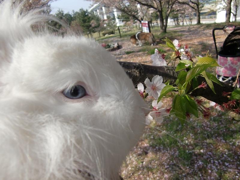 レッシーと桜 20%