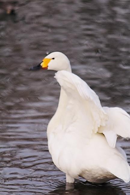 20140121白鳥3