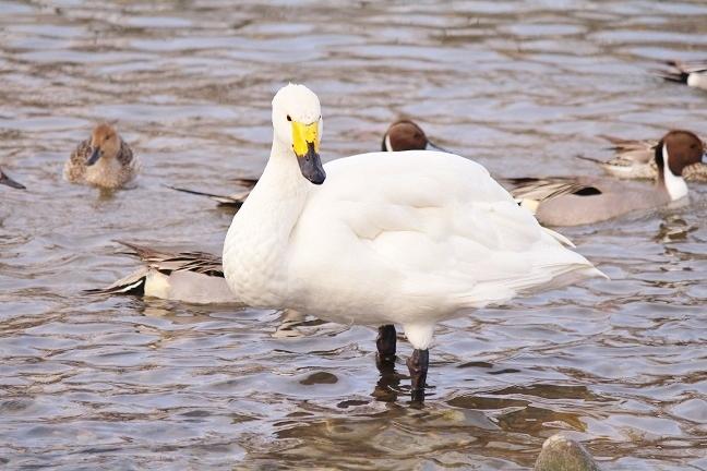 20140121白鳥4