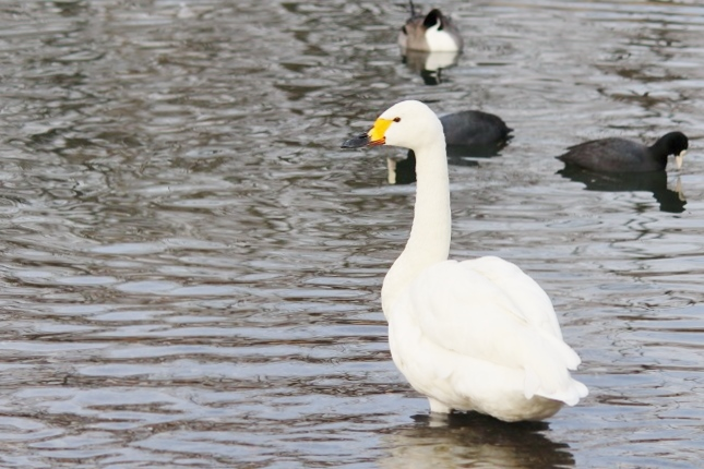 20140121白鳥6