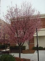 ピンクのお花の木ー2