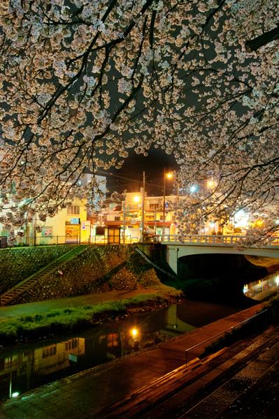 旧袋川の桜