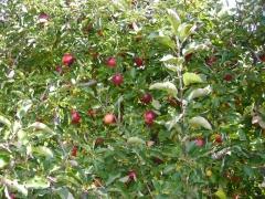 りんご狩り2014
