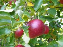 りんご狩り2014年