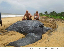 Giant-Leatherback-sea-turtle-resizecrop--.jpg