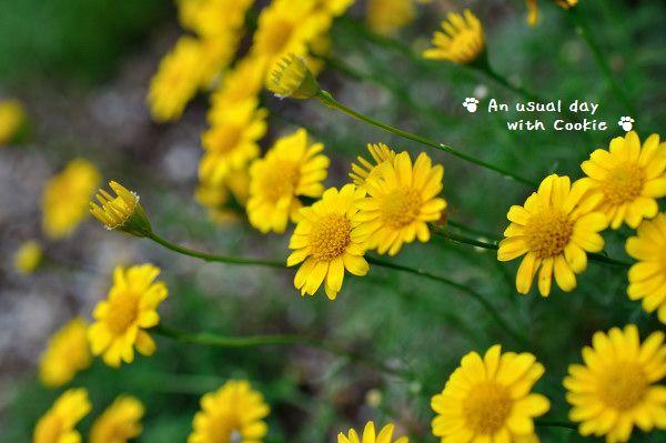 黄色花_2626