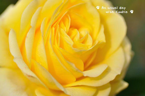 黄色いばら_3148