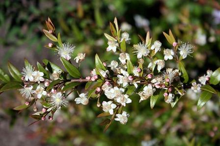ミジェンベリーの花