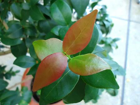 綺麗な色の新葉