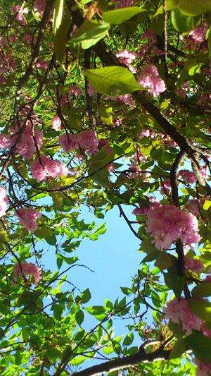 20120427八重桜