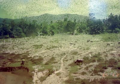 マレー鉄道途中の景色 水牛