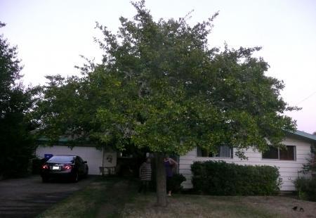 Sz宅前の木