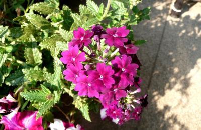 Sz裏庭花8