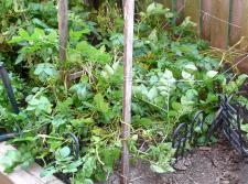CA3P親宅庭ジャガイモ