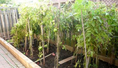 CA3P親宅庭トマト1