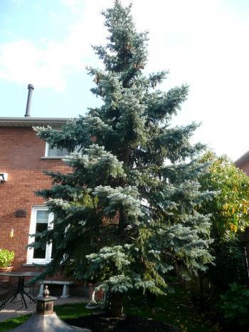 CA6P親宅庭木2シダー