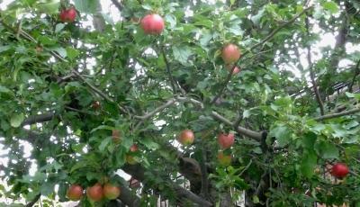 TR Wo宅近くの家のりんご