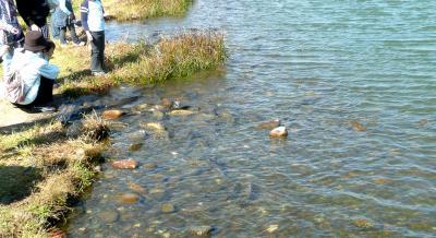水遊園2池のコイ