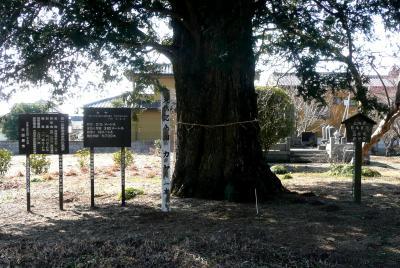 墓参り 寺のカヤの木2