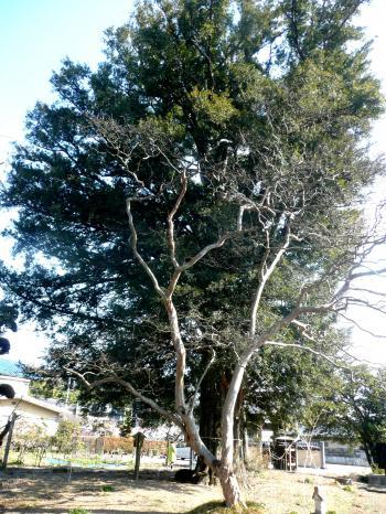 墓参り 寺のカヤの木1