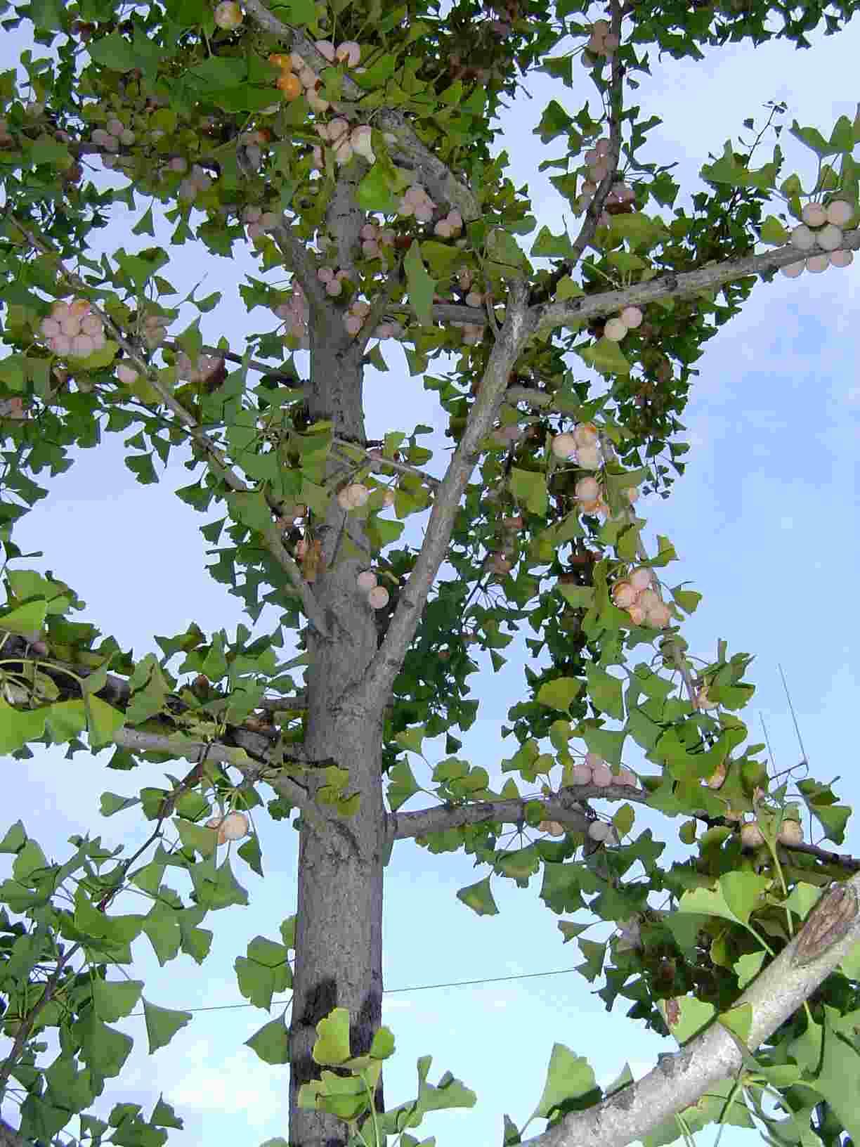 銀杏の木2-2