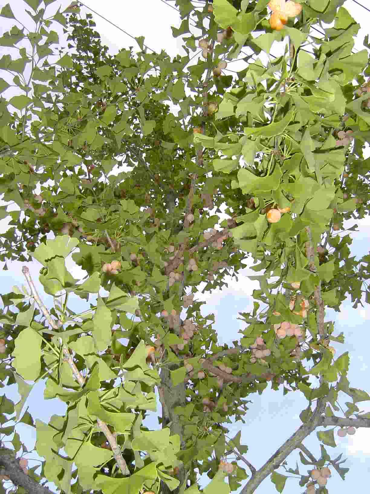 銀杏の木1-1
