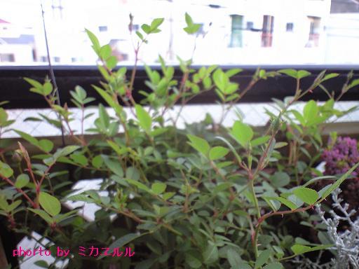 12.11.21ミニバラつぼみCA391951