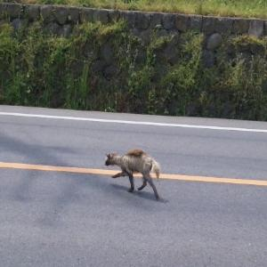 疾走する狸