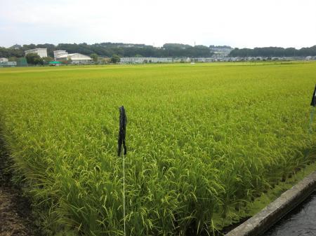 入谷駅付近の田んぼ