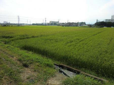 海老名高校近く田んぼ