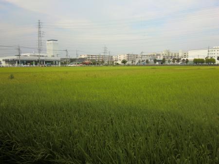 海老名高校東の田んぼ