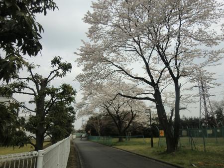 相模川発電管理事務所前の桜