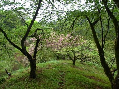 5月のサクラ保存林2012.05.01. 153
