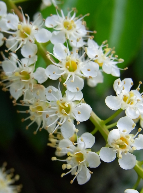 イギリスB2012.06 352 Prunus Lusitanica