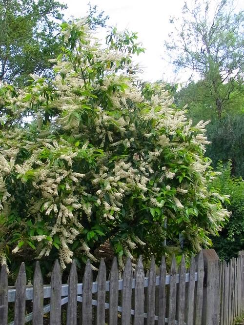 イギリスB2012.06 345 Prunus Lusitanica