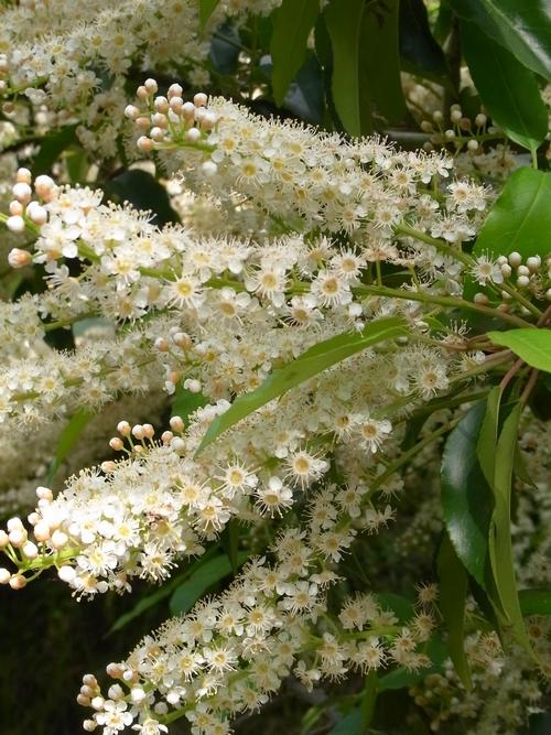 イギリスB2012.06 349 Prunus Lusitanica