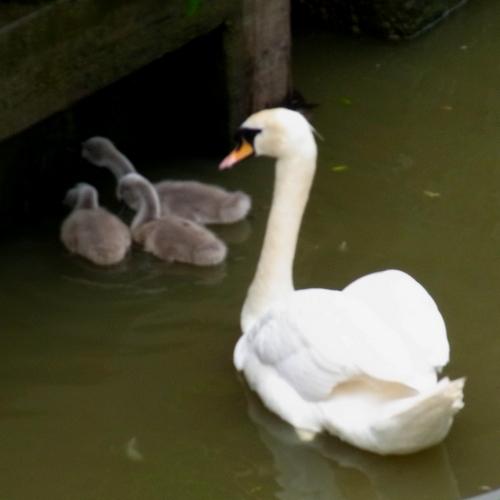 イギリスB2012.06 384 白鳥②