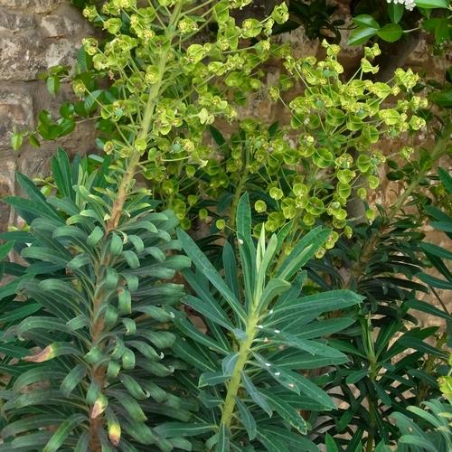 イギリス2012.06 115 Euphorbia characias