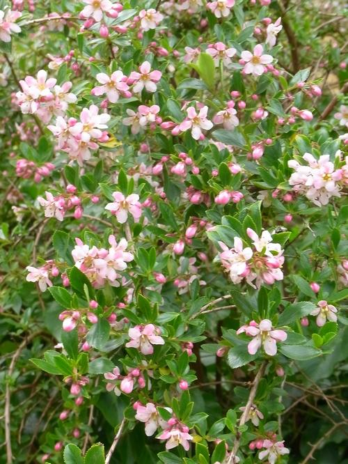 イギリスB2012.06 425 Anopterus glandulosus