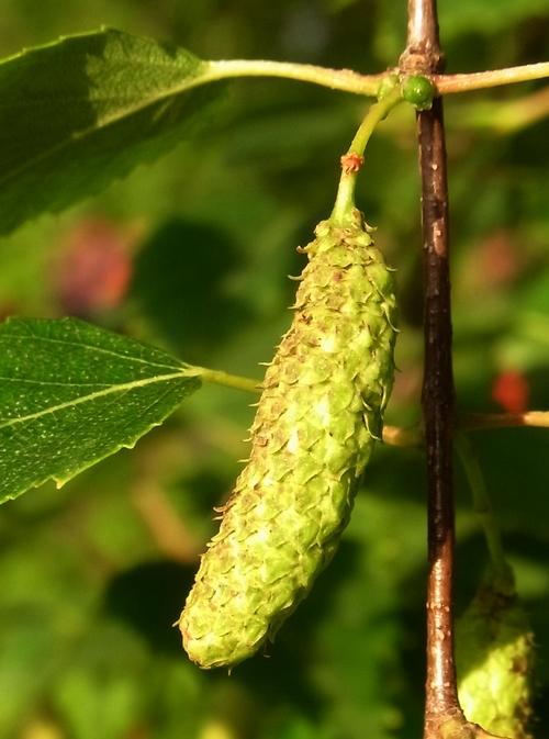 イギリスB2012.06 241 Betula sp.