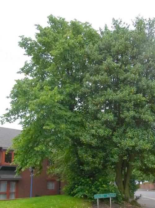 イギリスB2012.06 302 Ilex aquifolium