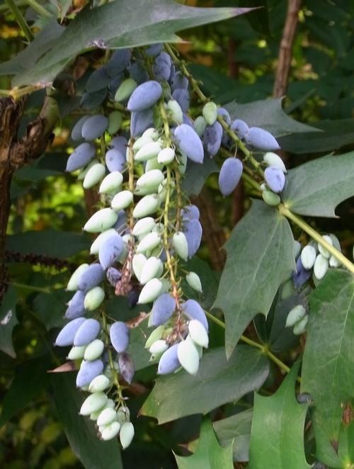 イギリスB2012.06 258 ヒイラギナンテンの園芸品種