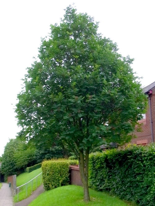 イギリスB2012.06 310 Sorbus aucuparia