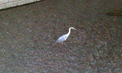 神田川の鷺