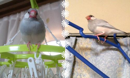 文鳥友達のブログと姫_3
