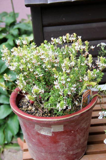 クランベリー花