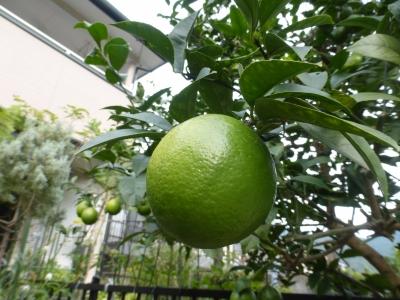 レモン 2014 11・1